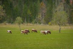 Cattle on pasture in autumn colors; Logarska dolina, Slovenia, European Alps Stock Photo