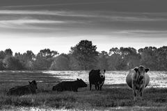 Cattle in pasture BW. Black and white image of a herd of cattle in a pasture Royalty Free Stock Image
