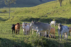 Cattle in the pasture Royalty Free Stock Photography