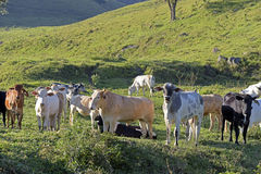 Cattle in the pasture Royalty Free Stock Photo