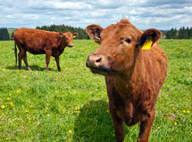 Cattle on pasture Stock Photography