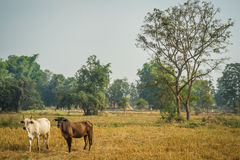Cattle in pasture. The cows in the field look at me Royalty Free Stock Photography
