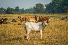 Cattle in pasture. The cows in the field look at me Stock Photography