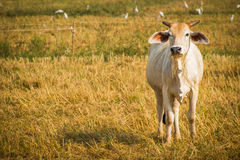 Cattle in pasture. The cows in the field look at me Royalty Free Stock Photos