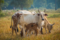 Cattle in pasture. The cows in the field look at me Stock Image
