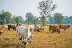 Cattle in pasture. The cows in the field in thailand Royalty Free Stock Photo