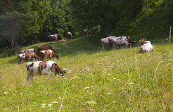 Cattle on pasture Stock Image