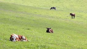 Cattle on pasture stock footage