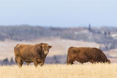 Cattle. At pasture in the foothills of Alberta Canada Stock Image