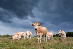 Cattle on pasture Royalty Free Stock Images