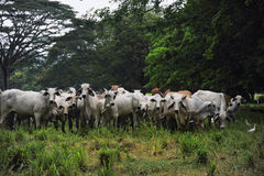 Cattle on the pasture Stock Photography