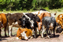 Cattle on pasture Stock Photos