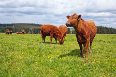 Cattle on pasture Stock Images