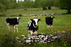 Cattle in pasture landscape Stock Photo