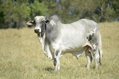 Cattle in the pasture Stock Photo
