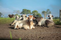 Cattle in the pasture stock photos