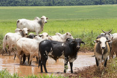 Cattle in pasture Stock Photography