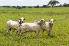 Cattle in pasture Royalty Free Stock Photography