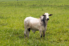 Cattle in pasture Stock Images