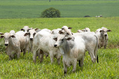 Cattle in pasture Royalty Free Stock Photo