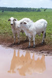 Cattle in pasture Stock Photos