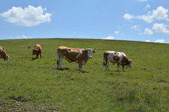 Cattle on Pasture. Several cows and bulls grazing grass on pasture on a sunny day stock photo