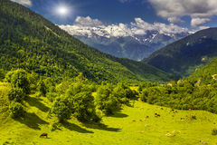 Cattle on pasture in summer Caucasus Mountains Stock Photo