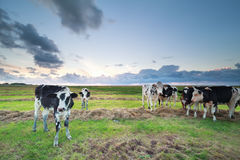 Cattle on pasture at sunset. In summer Stock Images