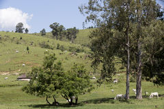 Cattle in pasture with trees Royalty Free Stock Photo
