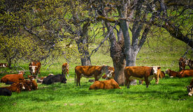 Cattle in pasture under trees Stock Photos