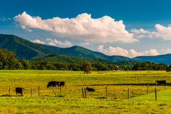 Cattle in a pasture and view of the Blue Ridge Mountains in the Royalty Free Stock Photography