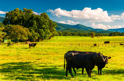Cattle in a pasture and view of the Blue Ridge Mountains, in the Stock Photo