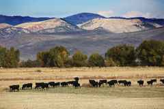 Cattle Pasture in Wyoming Mountains. A large herd of cattle grazes in a pasture with Wyoming Mountains in the background Stock Photography