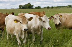 Cattle on pastureland Royalty Free Stock Photo
