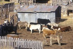 Cattle in pen, MT Stock Image