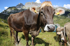 Cattle in Pennine Alps Royalty Free Stock Photo