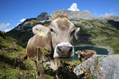 Cattle in Pennine Alps Stock Photography
