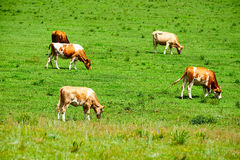 The cattle Royalty Free Stock Image