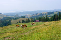 Cattle in Pieniny hills, Poland Royalty Free Stock Photos