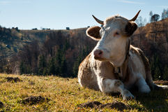 Cattle on a plain Royalty Free Stock Image