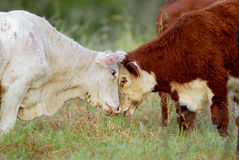 Cattle playing royalty free stock images