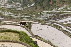 Cattle, plough, terraced fields, farmers Stock Photography