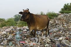 Cattle and the pollution Stock Photos