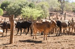Cattle in a poor and dry farm. Skinny cattle, living in a poor and dry farm, with sunny fields and improvised fences stock photography