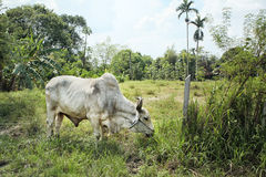 The cattle. A portrait of young cattle are grazing at the roadside eating grass somewhere in Nakhon PaThom Thailand stock photography
