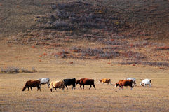 Cattle on the prairie in autumn Royalty Free Stock Image