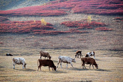 Cattle on the prairie in autumn Stock Photos