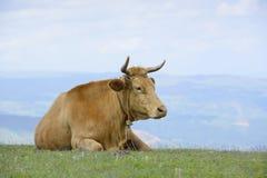 Cattle on the prairie Stock Photos