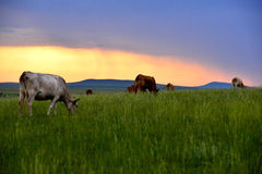 Cattle on the prairie Stock Images