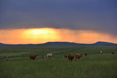 Cattle on the prairie Royalty Free Stock Photos